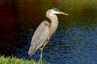 GreatBlueHeron_0439