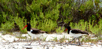 OysterCatchers072411_0109
