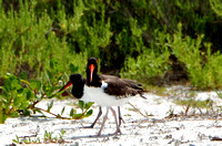 OysterCatchers072411_0111