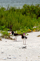 OysterCatchers072411_0096